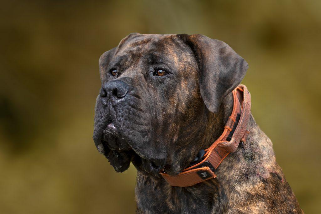 Big dogs the Boerboel south african Mastiff