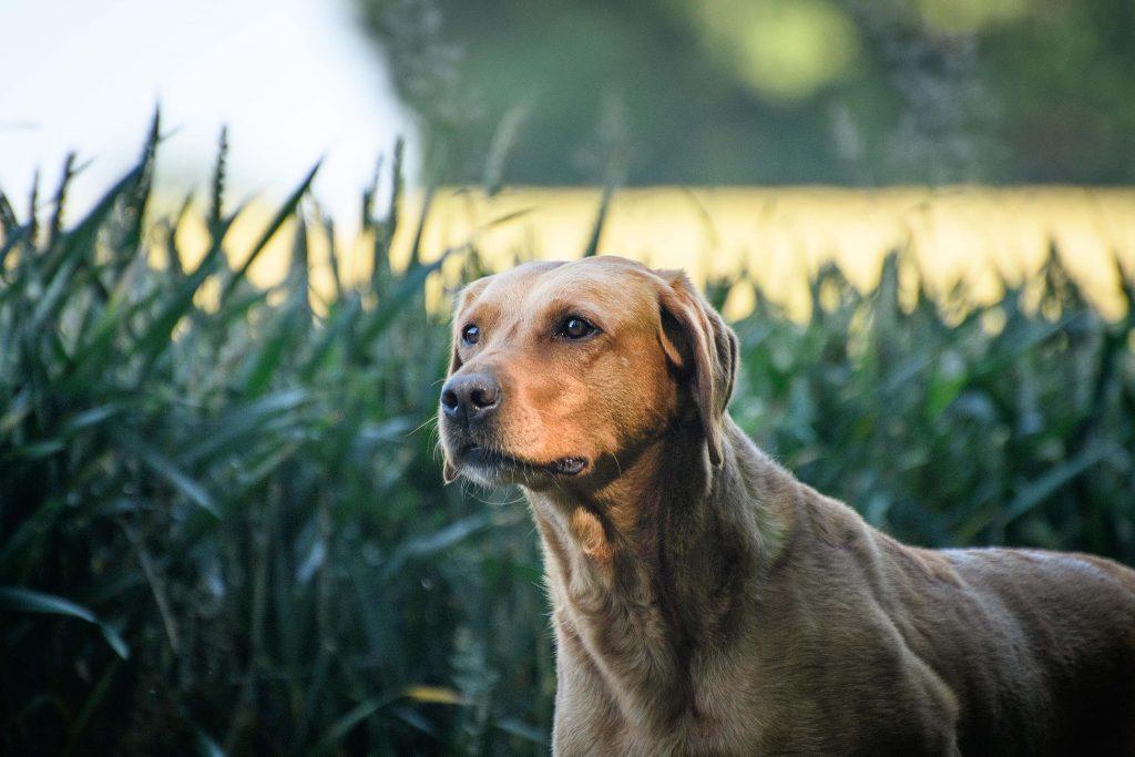 Yellow labrador gundog